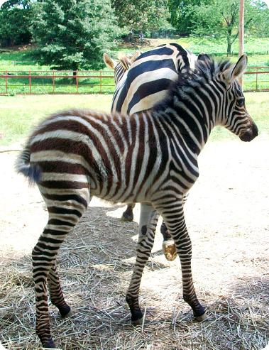 детеныш зебры Гранта