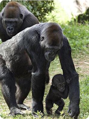Кибиби – игривая малютка-горилла