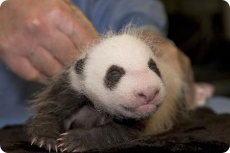 Первые снимки детеныша панды