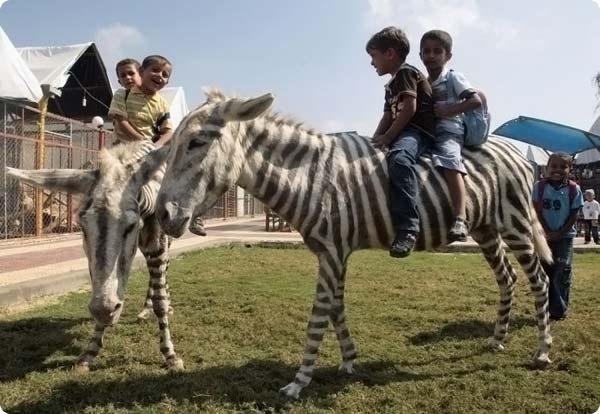 СекторГазовские зебры