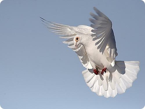 10 малоизвестных фактов о голубе