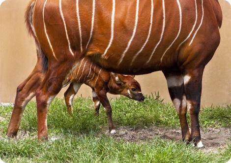 В зоопарке Буш Гарденс родился малыш Бонго