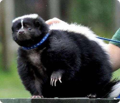 Самый толстый скунс в мире