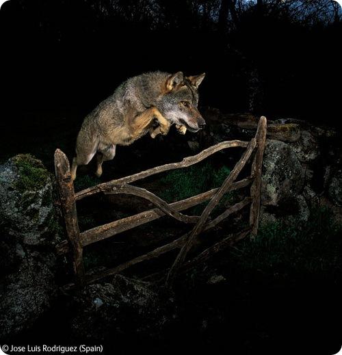 Прыгающий волк