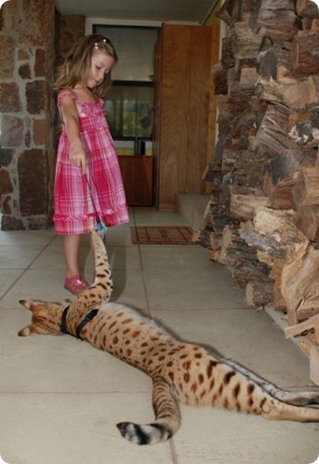 Самая большая кошка в мире домашняя