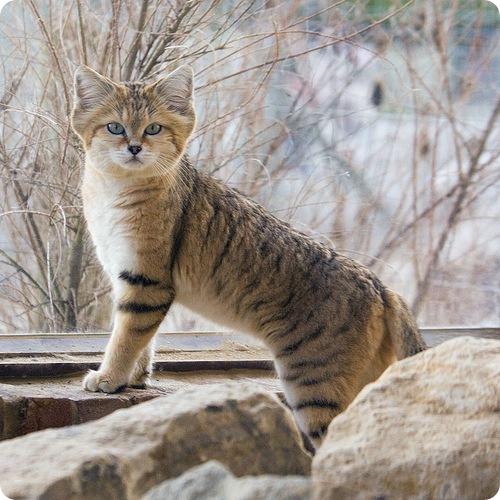 Барханная кошка