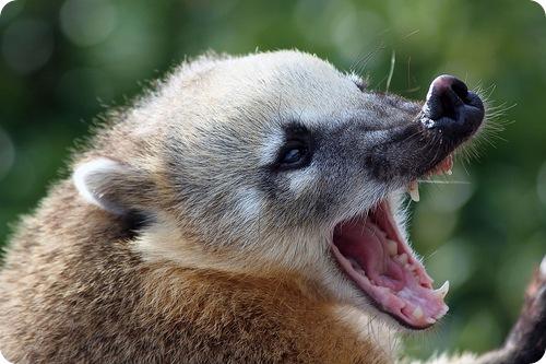 Носухи или коати