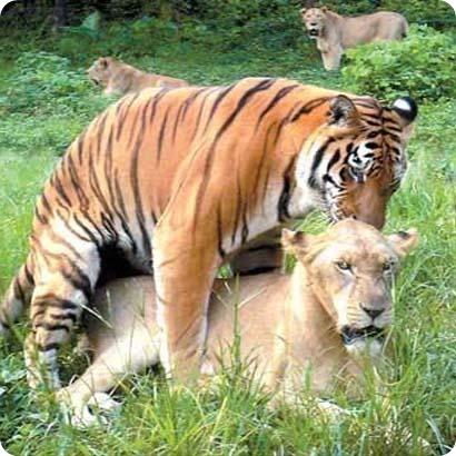 Лигры и Тигоны