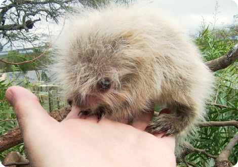 Парагвайский волосатый карликовый дикобраз