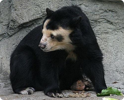 Лысые медведи