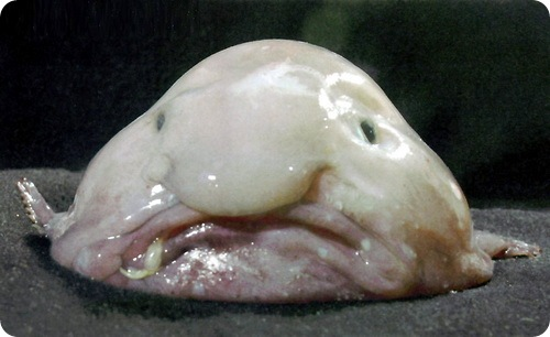 Рыба-капля (лат. Psychrolutes marcidus)