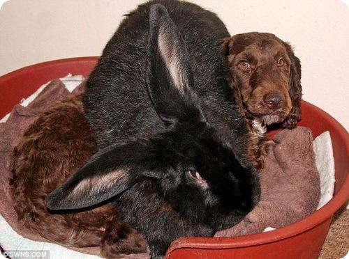 Кролик-переросток возомнил себя собакой