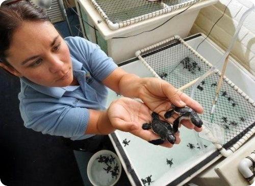 82 крошечные морские черепашки
