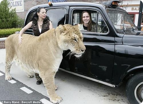 Геркулес - крупнейшая в мире кошка