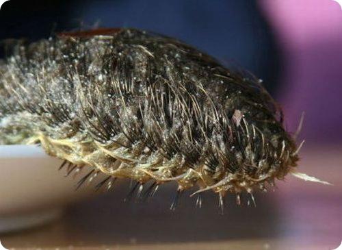 Морская мышь - Aphrodite aculeata
