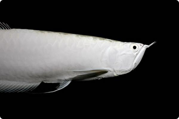 Платиновая аравана - рыбка за $80 000
