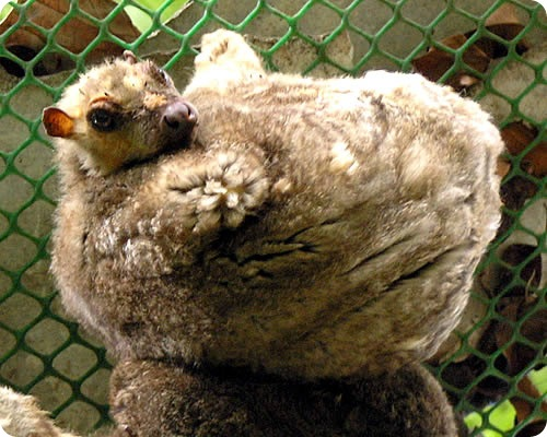 Шерстокрылы: Летающие лемуры