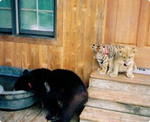 Лео, Шер-Хан и Балу, старые друзья