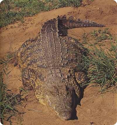 Крокодил людоед - Густав