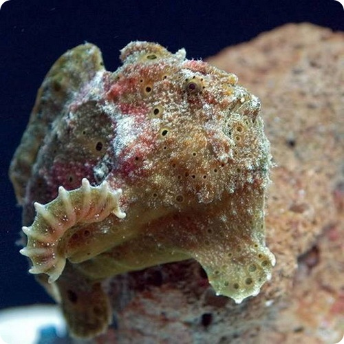 Рыба-лягушка - Histiophryne psychedelica