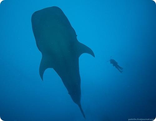 Сомнительное освобождение китовой акулы
