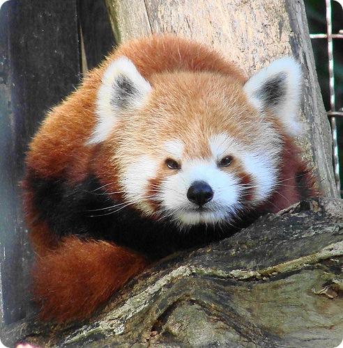 Красная панда (лат. Ailurus fulgens)