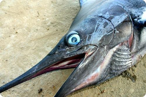 Меч-рыба – опасный спринтер тропических вод!