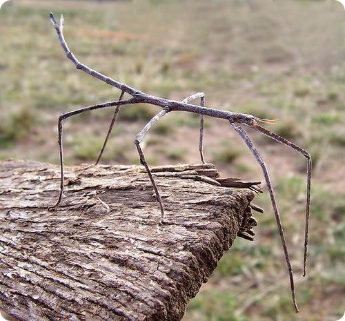 Самое длинное насекомое в мире