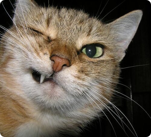 Молочные зубы у кошек zoopicture источник