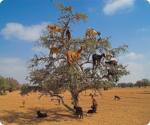 Козы, пасущиеся на деревьях