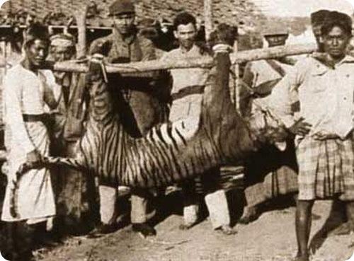 Балийский тигр (лат. Panthera tigris balica)