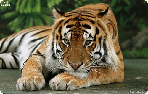Бенгальский тигр (лат. Panthera tigris tigris или лат. Panthera tigris bengalensis)