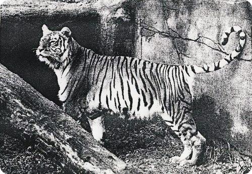 Туранский тигр (также мазандаранский или каспийский, лат. Panthera tigris virgata)