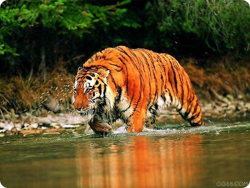 Южно-китайский тигр (лат. Panthera tigris amoyensis)