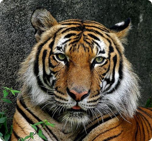 Индокитайский тигр (тигр Корбетта, лат. Panthera tigris corbetti)