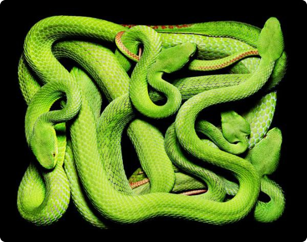 Змеиная коллекция Guido Mocafico