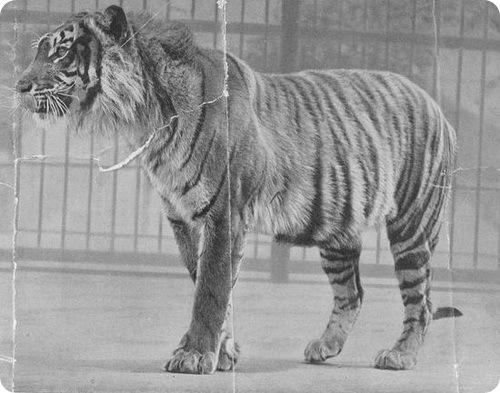 Яванский тигр (лат.Panthera tigris sondaica)