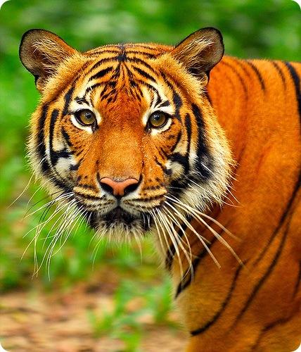 Малайский тигр (лат. Panthera tigris jacksoni)