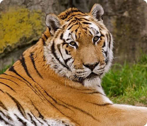 Суматранский тигр (лат. Panthera tigris sumatrae)