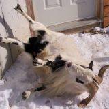 Обморочные козы