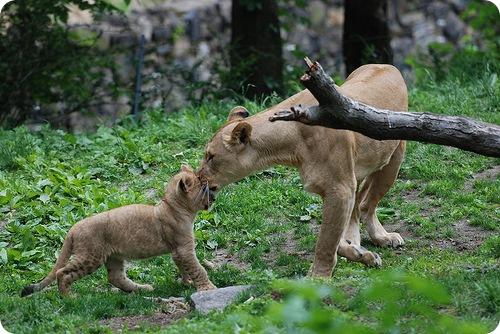Львята из зоопарка Бронкса