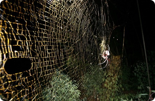 Самый большой из плетущих паутину паук Nephila komaci