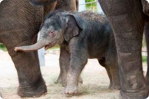 Маленькое счастье большой слонихи