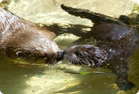 Крохотные выдры учатся плавать