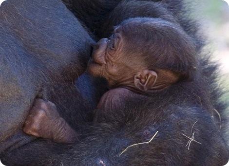 Новорожденная кроха гориллы в зоопарке Атланты