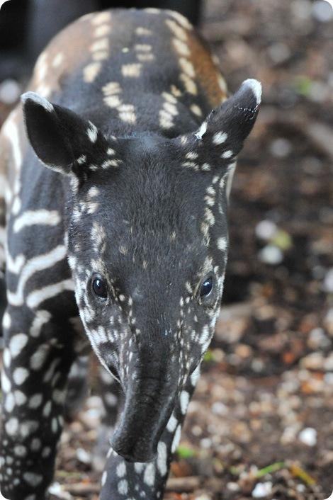 В зоопарке Эдинбурга родился тапир