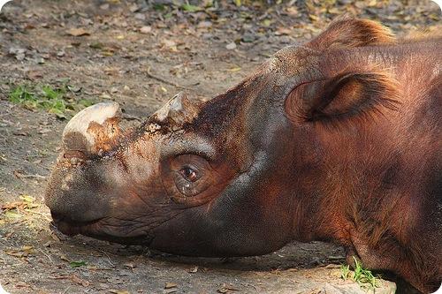 Суматранский носорог (лат. Dicerorhinus sumatrensis)