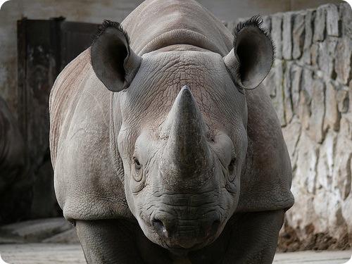 Чёрный носорог (лат. Diceros bicornis)