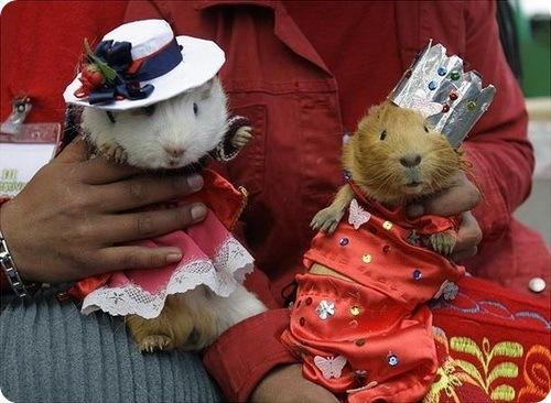 Фестиваль морских свинок в Перу