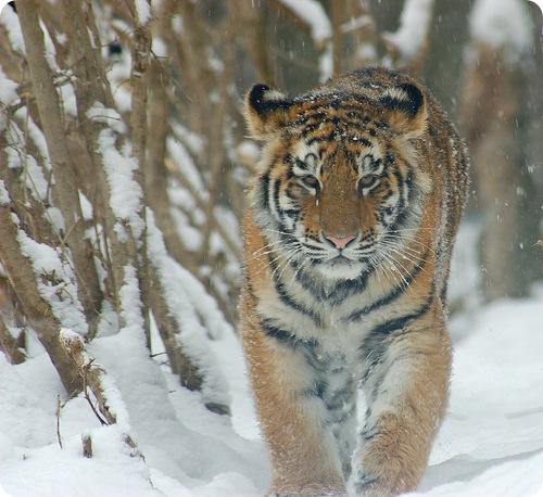 Амурские тигры потянулись к людям :(